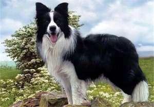 边境牧羊犬的养护知识